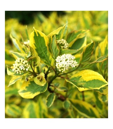 Cornus alba 'Spaethii' Дерен белый (Свидина)