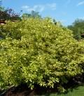 Cornus alba 'Spaethii' Дерен білий