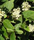 Cornus stolonifera (sericea) 'Flaviramea' Дерен шовковистий