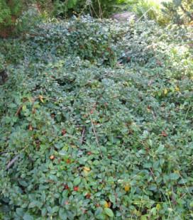 Cotoneaster dammeri, Кизильник Даммера