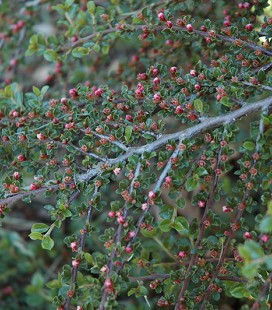 Cotoneaster perpusillus Кизильник горизонтальний (крихітний)