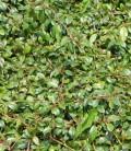 Cotoneaster salicifolius 'Parkteppich' Кизильник верболистовий
