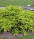 Juniperus chinensis 'Pfitzeriana Aurea' Ялівець китайський