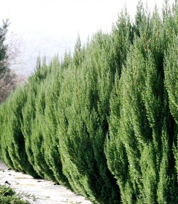 Juniperus chinensis 'Stricta' Ялівець китайський