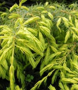 Juniperus communis 'Depressa Aurea' Ялівець звичайний
