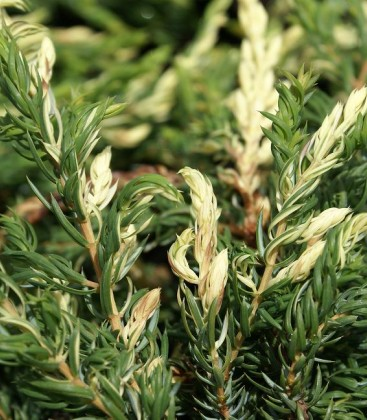 Juniperus communis 'Spotty Spreader' Ялівець звичайний