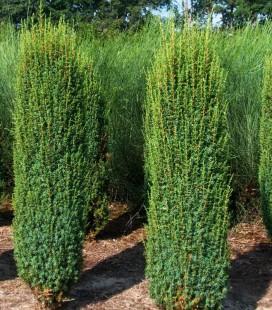 Juniperus communis 'Hibernica', Ялівець звичайний 'Гіберніка'