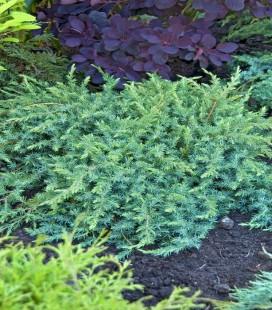 Juniperus conferta 'Schlager' Ялівець прибережний