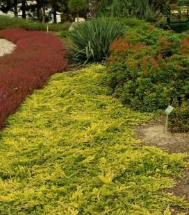 Juniperus horizontalis 'Golden Carpet' Можжевельник горизонтальный