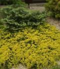 Juniperus horizontalis 'Golden Carpet' Ялівець горизонтальний