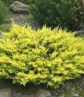 Juniperus horizontalis 'Lime Glow', Ялівець повзучий 'Лайм Глоу'