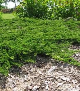 Juniperus horizontalis 'Prince of Wales', Ялівець повзучий 'Прінс оф Вейлс'