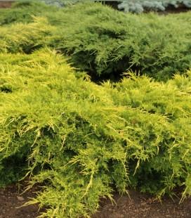 Juniperus x media 'Gold Star', Ялівець середній 'Голд Стар'