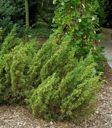 Juniperus pfitzeriana 'Plumosa Aureovariegata' Ялівець Пфіцера