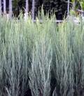Juniperus scopulorum 'Skyrocket' Можжевельник скальный