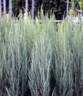 Juniperus scopulorum 'Skyrocket' Ялівець скельний