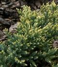 Juniperus squamata 'Dream Joy' Ялівець лускатий
