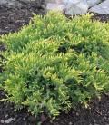 Juniperus squamata 'Holger' Ялівець лускатий