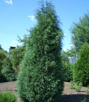 Juniperus virginiana 'Glauca' Ялівець віргінський