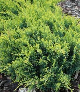 Juniperus virginiana 'Golden Spring' Ялівець віргінський