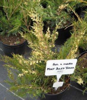 Juniperus x pfitzeriana 'Mint Julep Tarka' Ялівець Пфіцера
