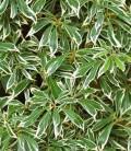 Pieris japonica Пієріс японський