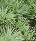 Pinus mugo Сосна горная карликовая