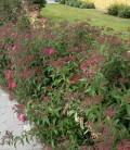 Spiraea japonica 'Crispa' Спирея японская