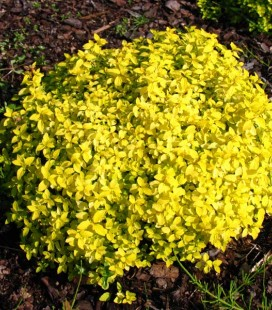 Spiraea japonica 'Golden Carpet' Спірея японська