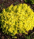 Spiraea japonica 'Golden Carpet' Спирея японская