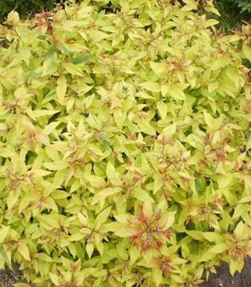Spiraea japonica 'Goldmound' Спірея японська