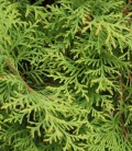 Thuja occidentalis 'Brabant' Туя західна