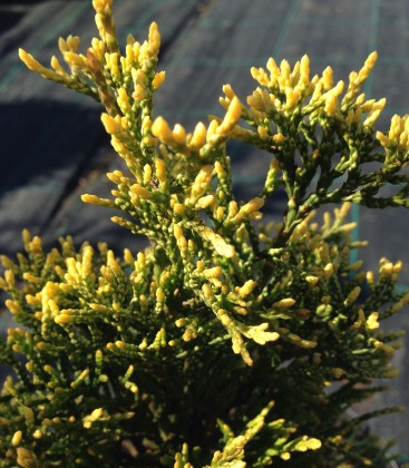 Thuja occidentalis 'Golden Pearl' Туя західна