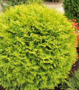 Thuja occidentalis 'Golden Globe' Туя западная