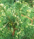 Thuja occidentalis 'Meinecke's Zwerg' Туя западная
