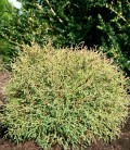Thuja occidentalis 'Mr. Bowling Ball' Туя западная