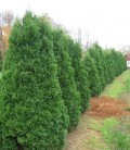 Thuja occidentalis 'Spiralis' Туя западная