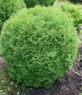 Thuja occidentalis 'Teddy' Туя западная