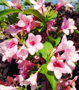 Weigela florida 'Boskoop Glory' Вейгела цветущая
