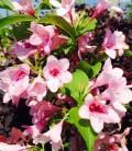 Weigela florida pink Вейгела цветущая розовая