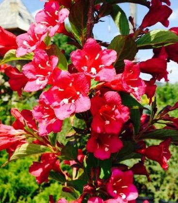 Weigela florida Вейгела квітуча червона