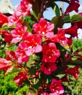 Weigela florida 'Rumba', Вейгела квітуча 'Румба'