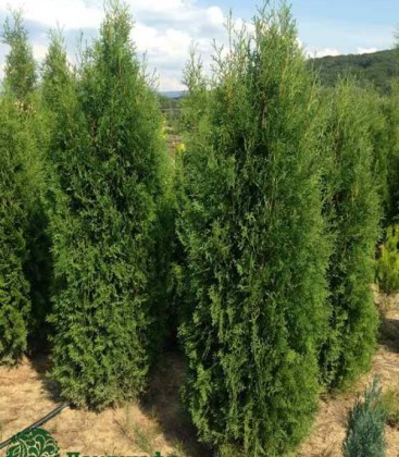 Thuja occidentalis 'Columna' Туя западная
