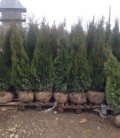 Thuja occidentalis 'Smaragd' Туя західна