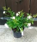 Rosa polyantha 'White Fairy' Троянда бордюрна 'Вайт Фейрі'