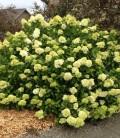 Hydrangea paniculata 'Limelight' Гортензія волотиста 'Лаймлайт'