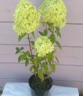 Hydrangea paniculata 'Limelight' Гортензия метельчастяа 'Лаймлайт'