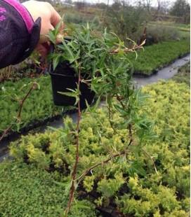 Hedera helix sagittifolia Плющ обыкновенный звездчастый