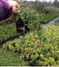Hedera helix sagittifolia Плющ звичайний зірчастий
