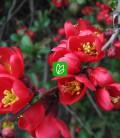Chaenomeles japonica 'Cido' Айва японская